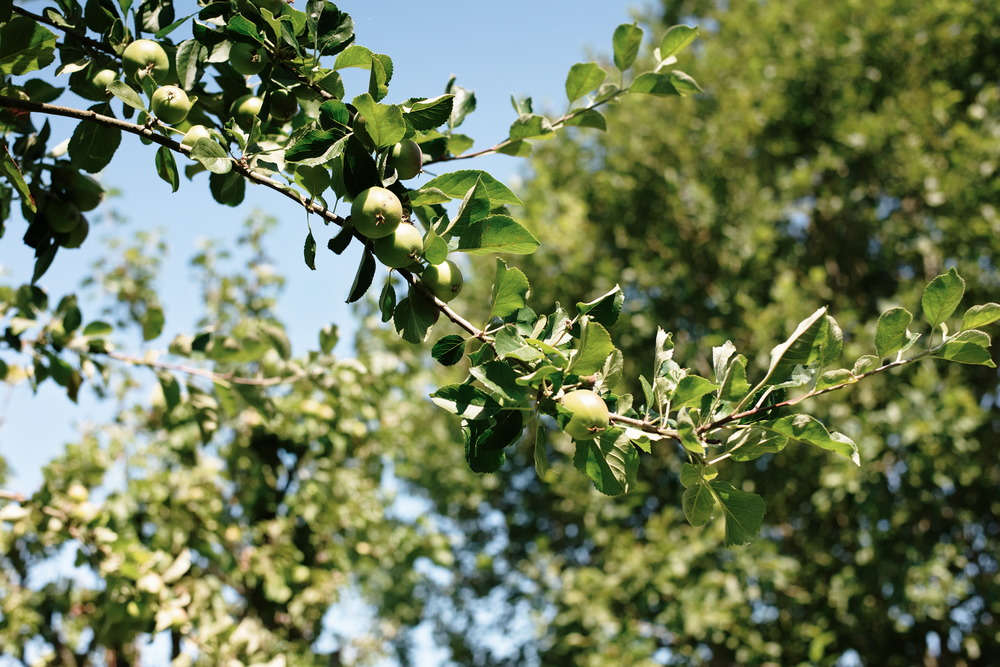 apples on branch in orchard