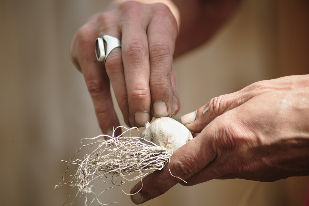 close-up of hands shucking garlic