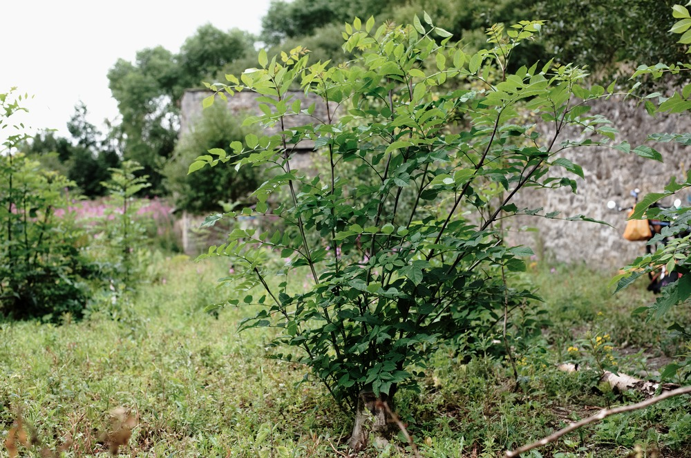 coppiced tree growing