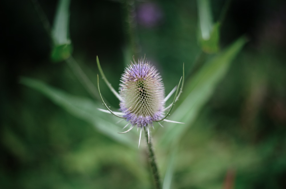 close up thistle edinburgh scotland