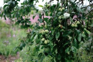new fruit growing in orchard edinburgh scotland