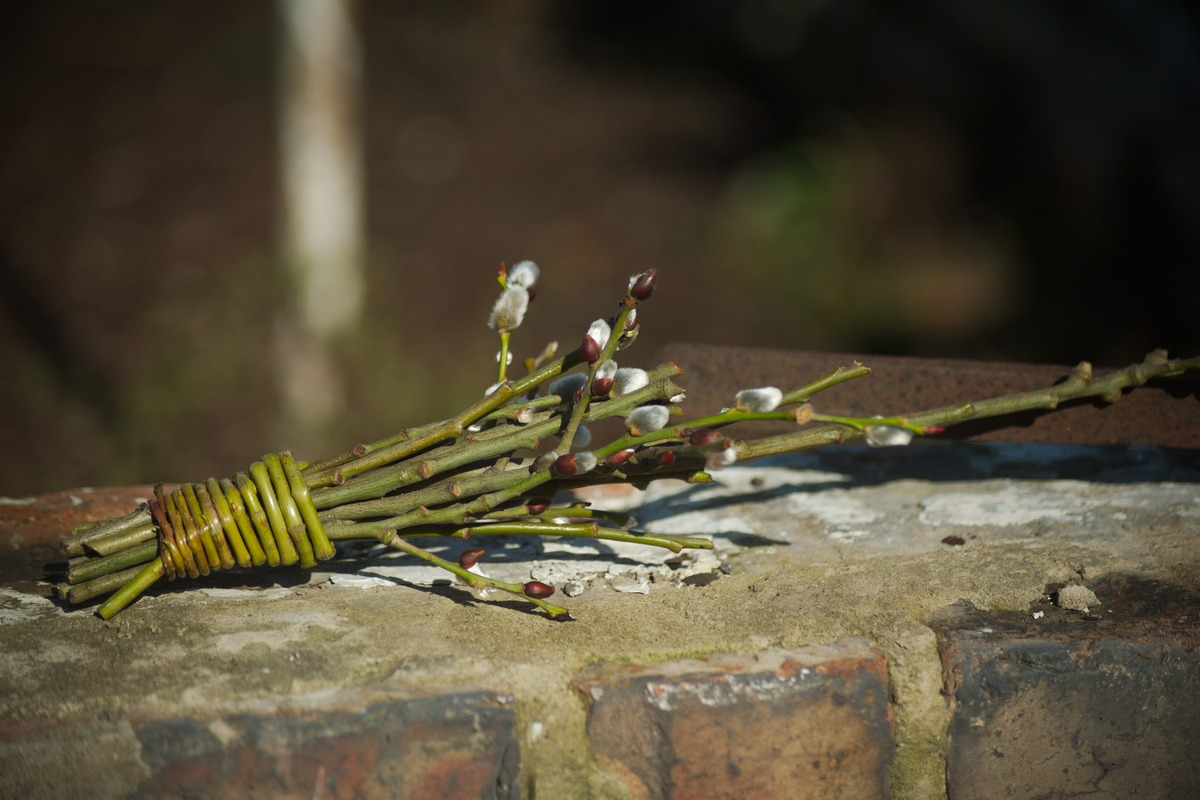 bouquet of pussy willow catkins on brick wall