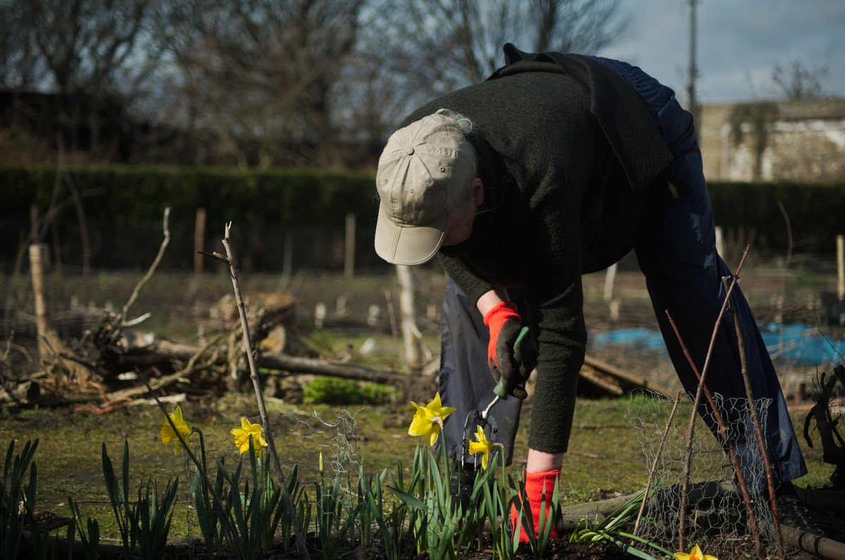 woman wearing baseball cap planting daffodills