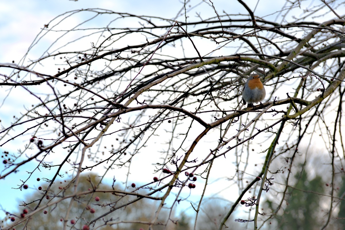 robin in tree with berries Edinburgh Scotland