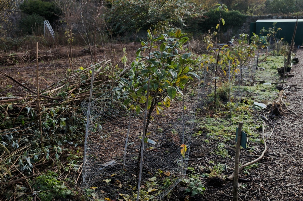 young fruit trees community garden Edinburgh